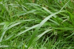 Grass - The long and the short of it